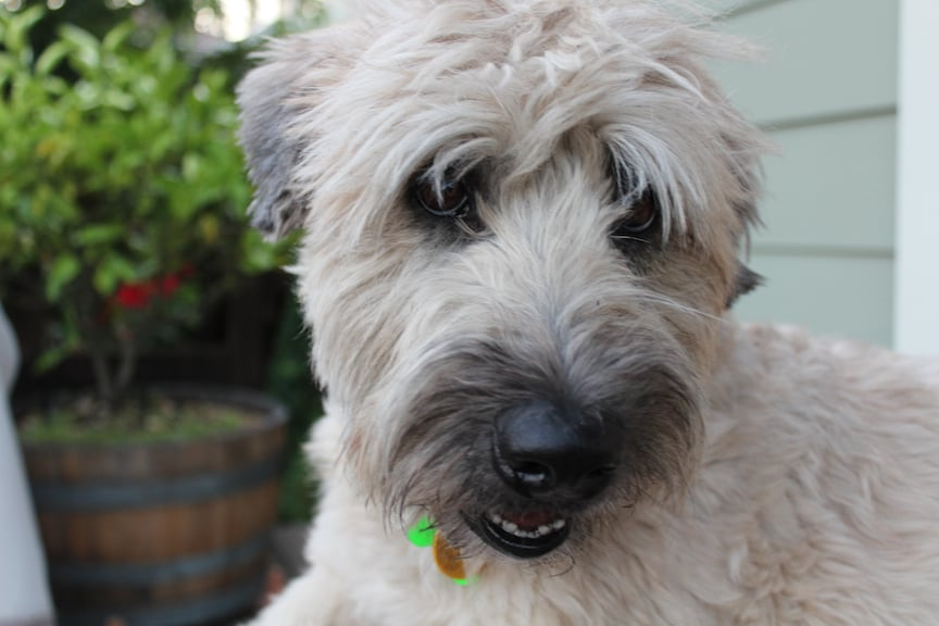 Toby The Wheaten Terrier With One Of Rustines Haircuts Yelp