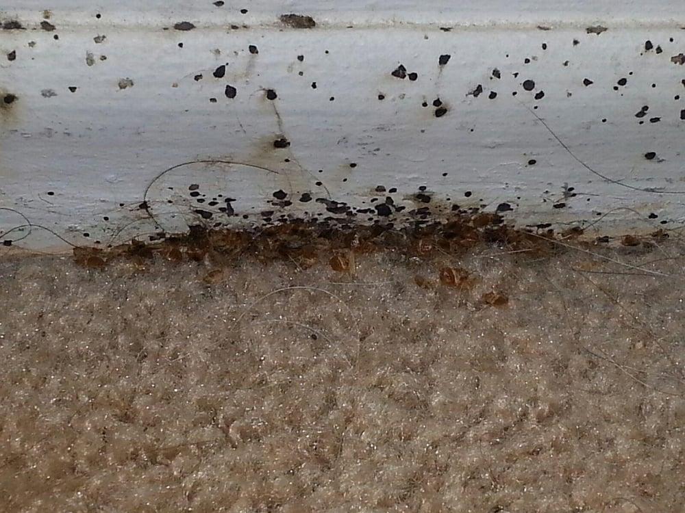 Bed Bugs On Carpet - Carpet Vidalondon
