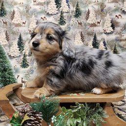 Whispering Pines Farm Miniature Dachshunds - 11 Photos - Pet