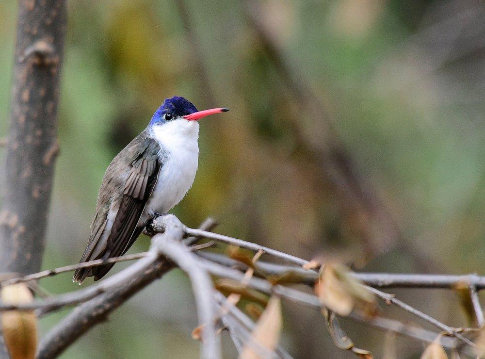 The Paton Center for Hummingbirds: 477 Pennsylvania Ave, Patagonia, AZ