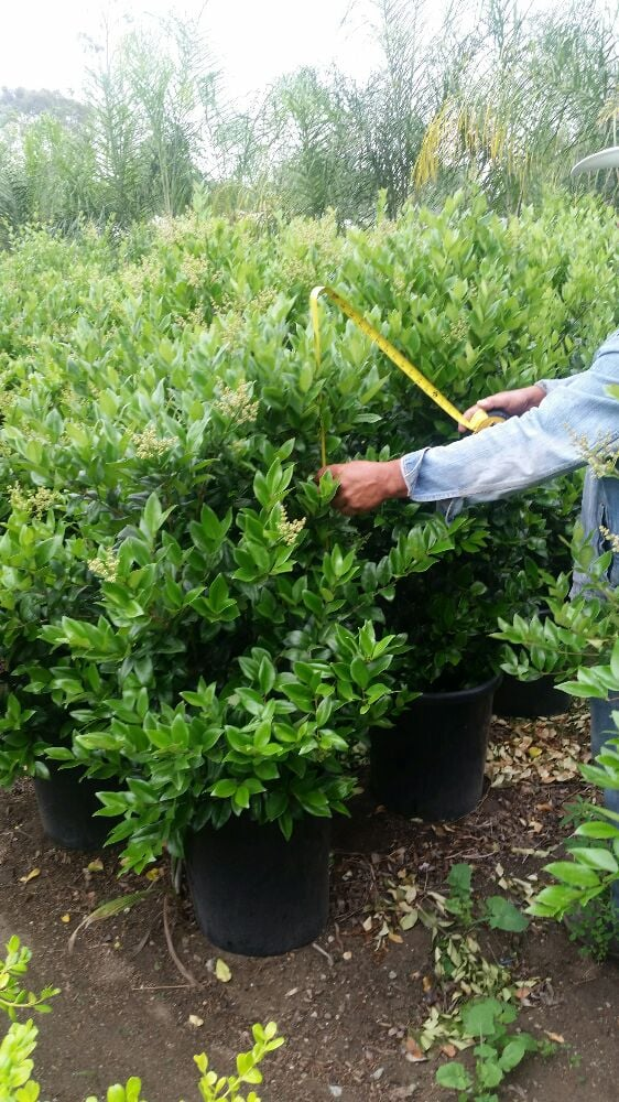 Podocarpus Gracilior Hedge Trees In The 15 Gallon They Are From 5 To 6 Ft High And Good For A Privacy Of Up 25 Yelp