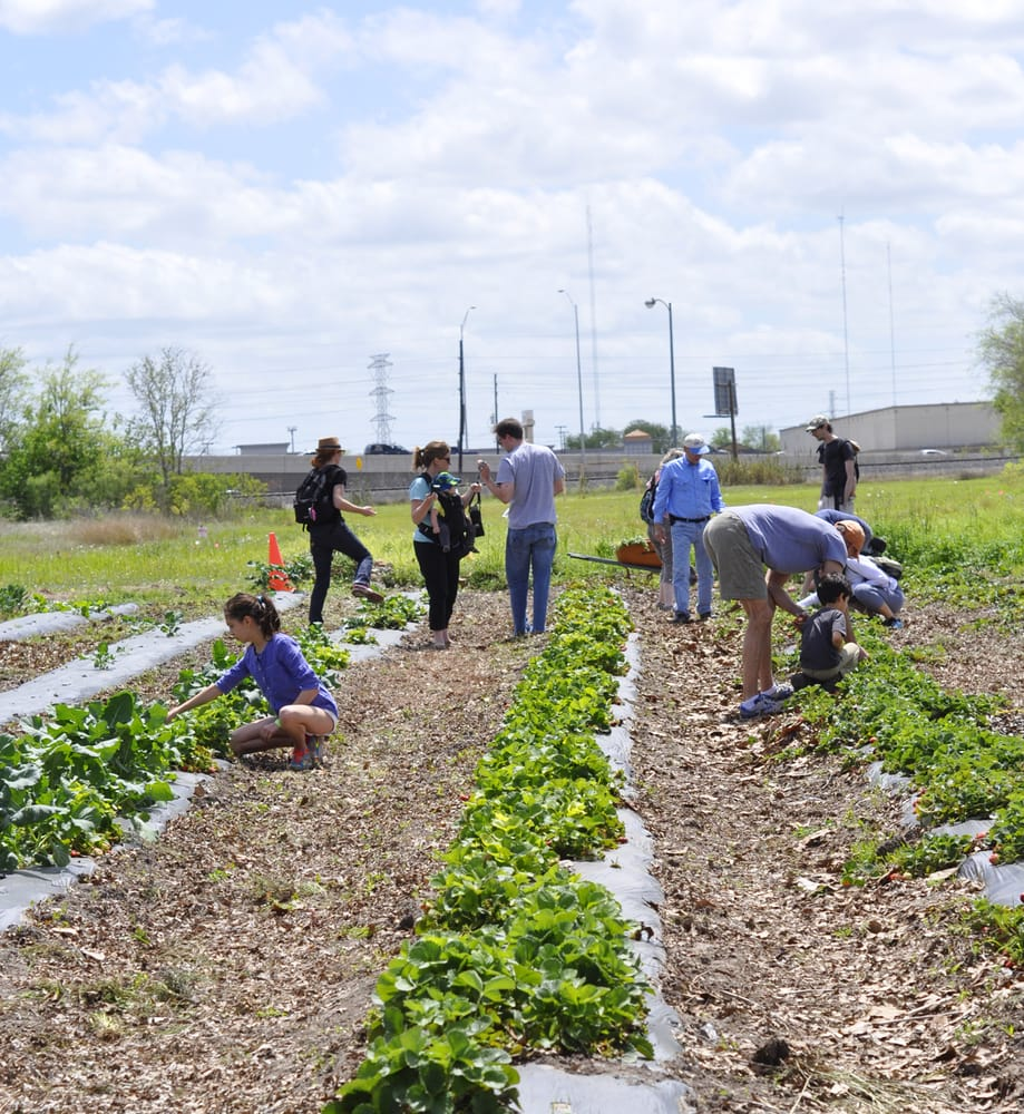Houston Westbury Gardens: Free Strawberry Picking Event For Farm Share Members At