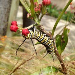 Photo Of Mission Hills Nursery San Go Ca United States Monarch Erflies