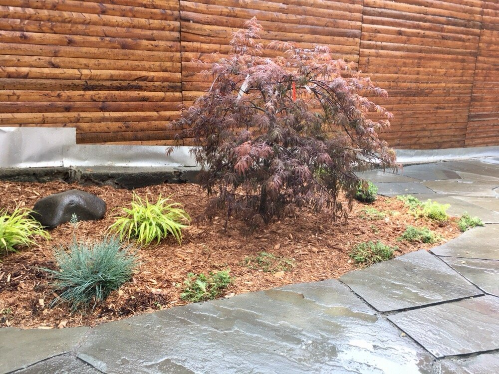 Japanese Maple And Ornamental Grasses Yelp