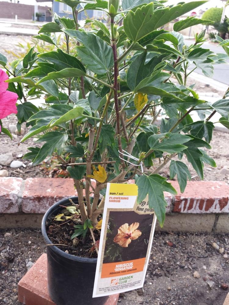 Hibiscus Sensation Yelp