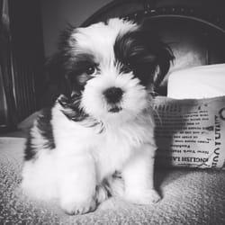 Sapphire Designer Dogs - 12 Photos - Pet Breeders - 13029 W