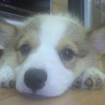 Lee English Corgi Lady 49 Photos Pets 519 N Obrien Point