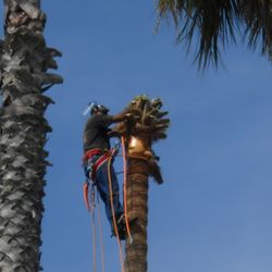 Palm Tree Trimming Removal Get Quote Tree Services Oxnard