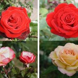 82dab58b14c19c Rosarium Sangerhausen - 26 Fotos - Blumen   Geschenke - Steinberger ...