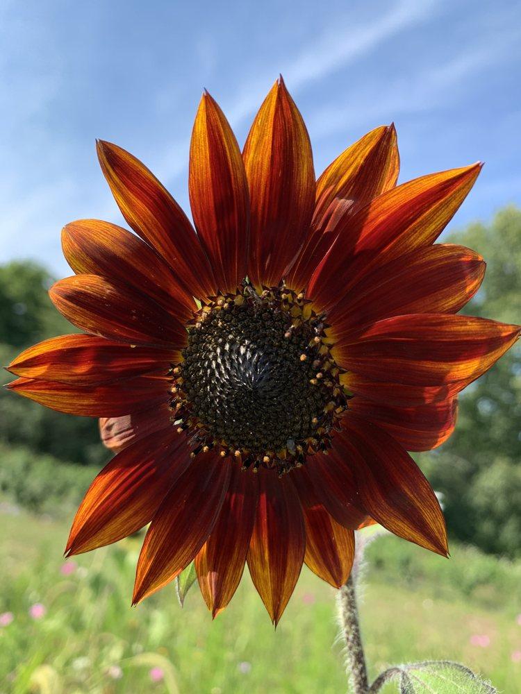 Lannon Sunflower Farm: W204 N8525 Lannon Rd, Lannon, WI