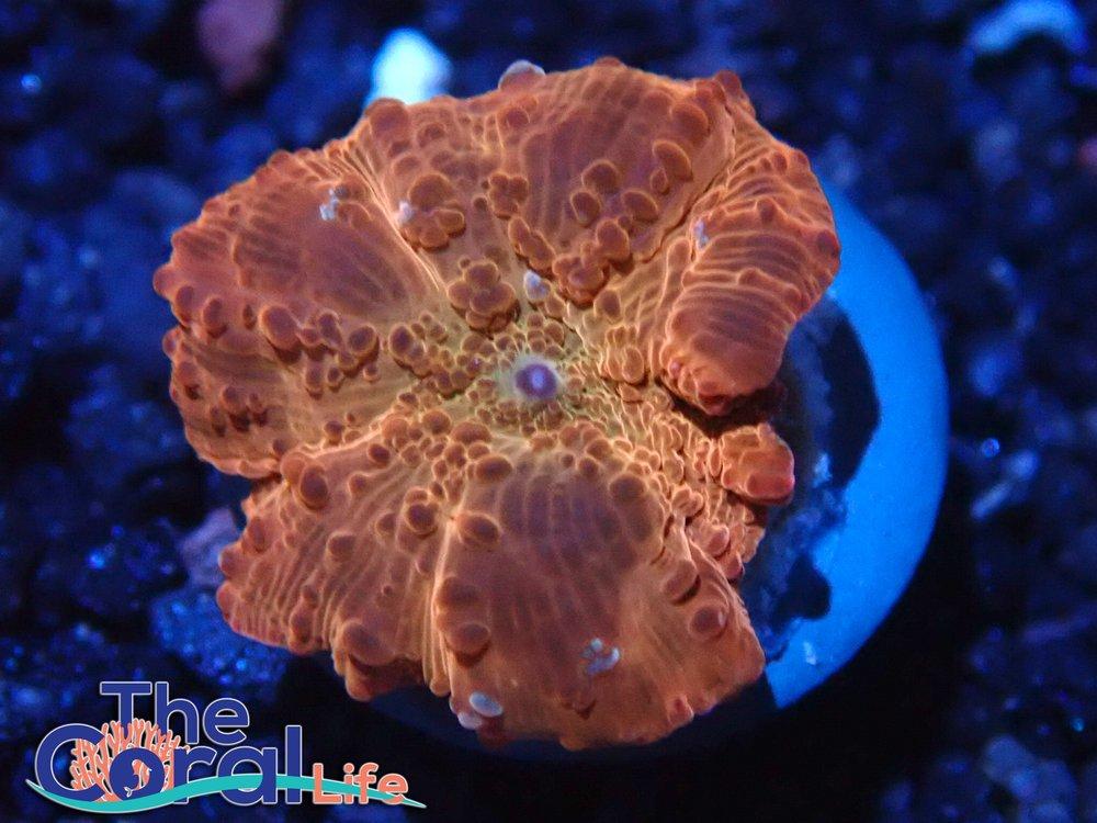 The Coral Life: 6515 E Main St, Mesa, AZ