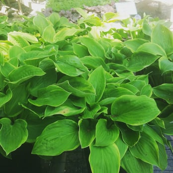 Photo Of Paradise Gardens Nursery West Bend Wi United States Hosta Central