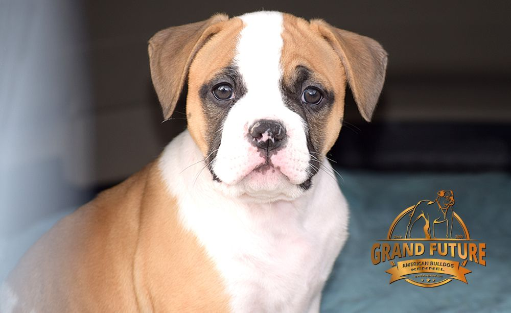 American Bulldog puppies - Yelp