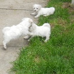 Bichons Of Boston - Pet Stores - Revere, MA - Phone Number
