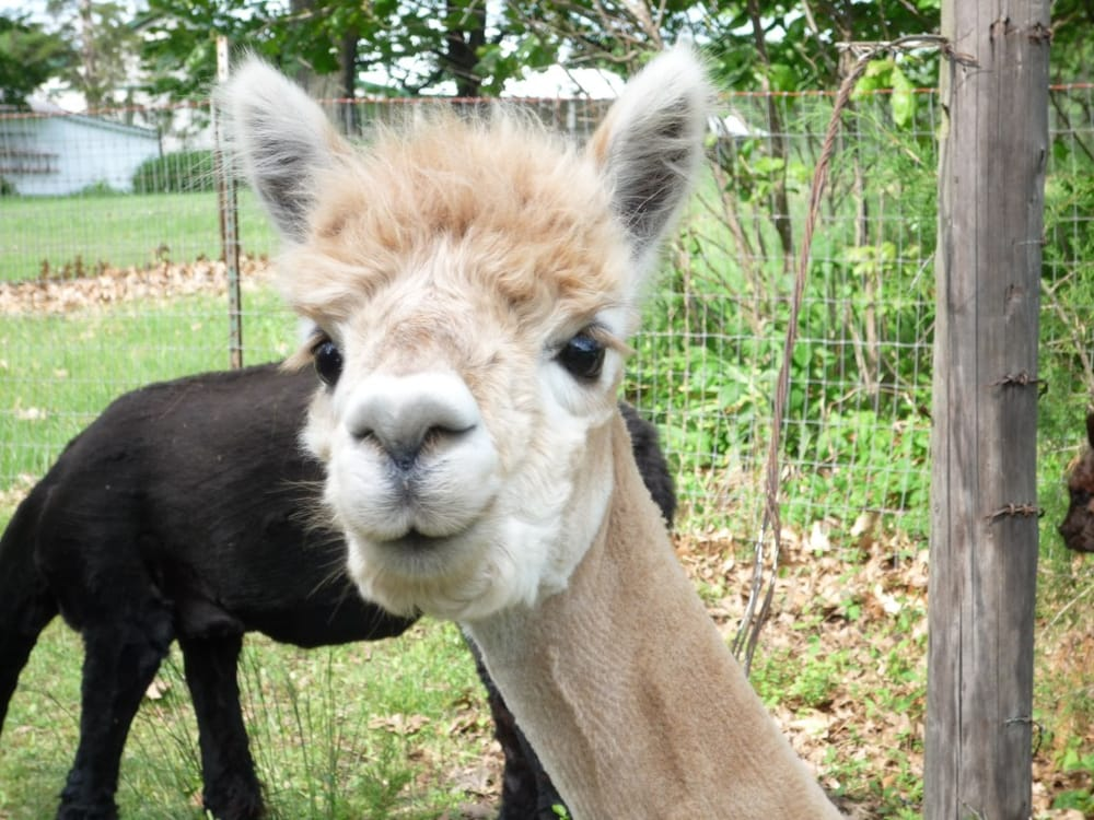 Ad Astra Alpacas: 168 E 1700th Rd, Baldwin City, KS