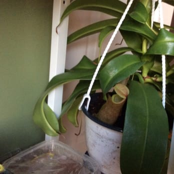 Photo Of Campbellu0027s Greenhouses   Charlotte, NC, United States. This Is The  Nepenthes