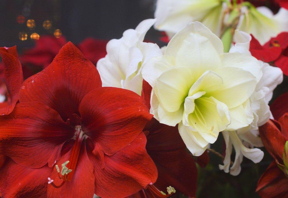 Amaryllis & Caladium Bulb Company: 1231 E Magnolia St, Lakeland, FL
