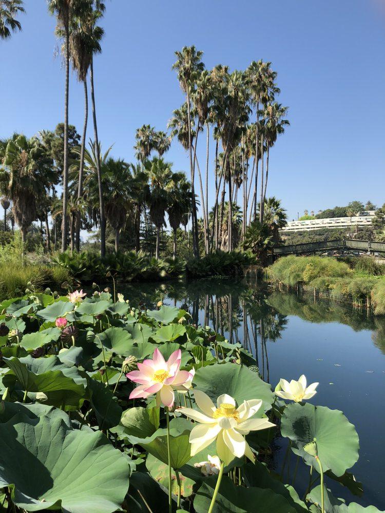 Lotus Flowers In Bloom Yelp