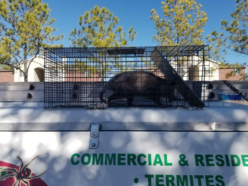 Possum Removal and Decontamination - Yelp