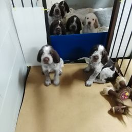 Puppies For Sale In Michigan
