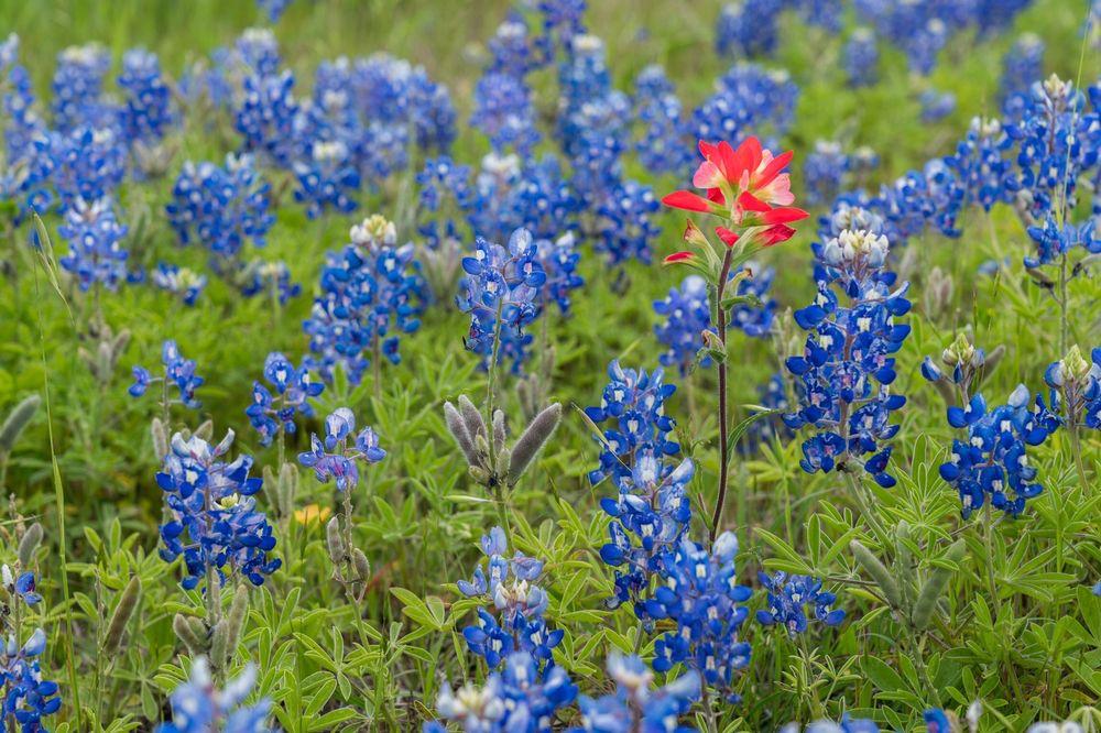 Ennis Bluebonnet Trails: 201 NW Main St, Ennis, TX