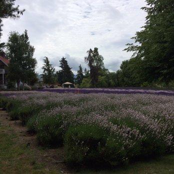 Purple Haze Lavender Farm - 202 Photos & 71 Reviews - Flowers