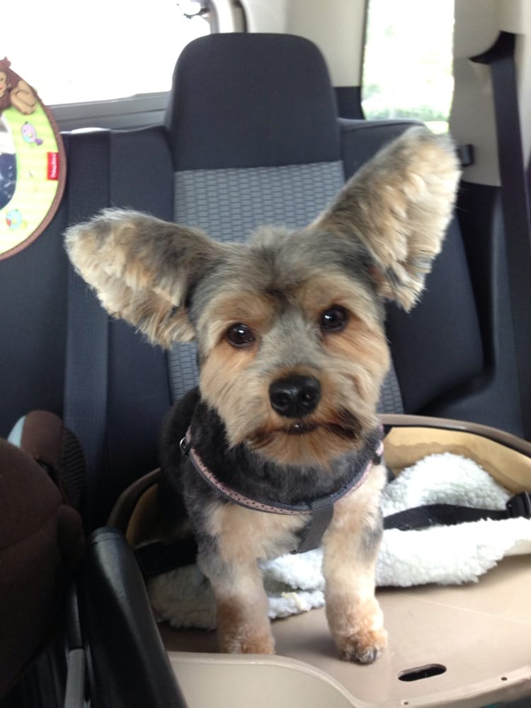 teddy haircut for yorkies my yorkie cut to look more like a chihuahua asked for 4574