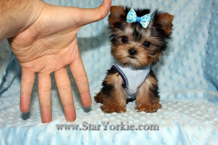 Photos For Star Yorkie Teacup Toy Puppies For Sale Yelp