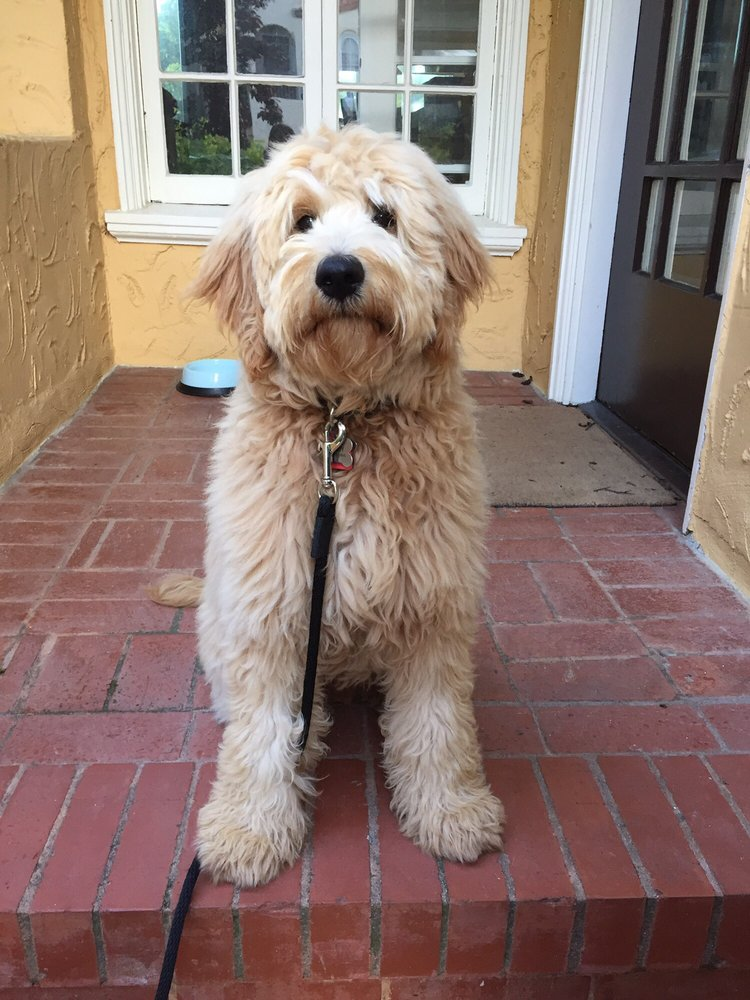 My 6 Mos Goldendoodle Had His First Haircut Today At Beauty The