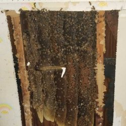Photo Of Bee Safe Removal San Antonio Tx United States Hive