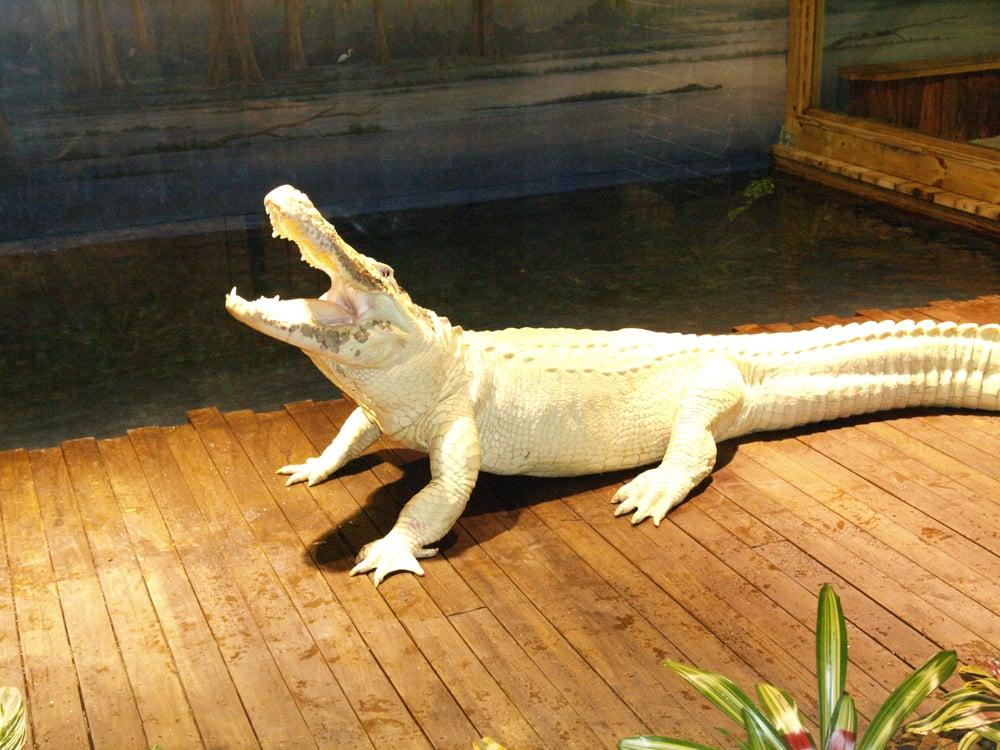 Leucistic Alligator Yelp