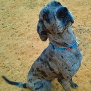 Rocky Mountain Great Dane Rescue, Inc - Request a Quote