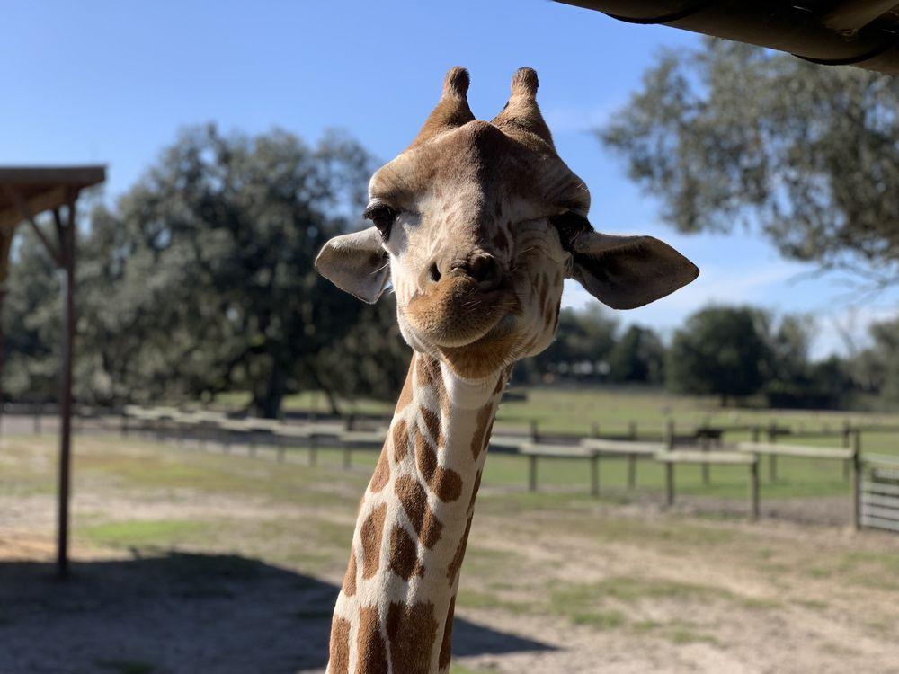 Giraffe Ranch: 38650 Mickler Dr, Dade City, FL