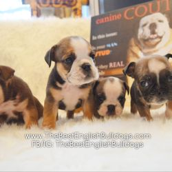 The Best English Bulldogs Request A Quote Pet Services