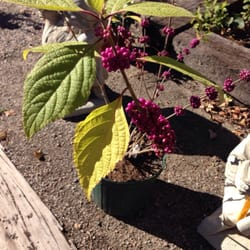 Photo Of Smithfield Gardens   Suffolk, VA, United States. Purple Beauty  Berry