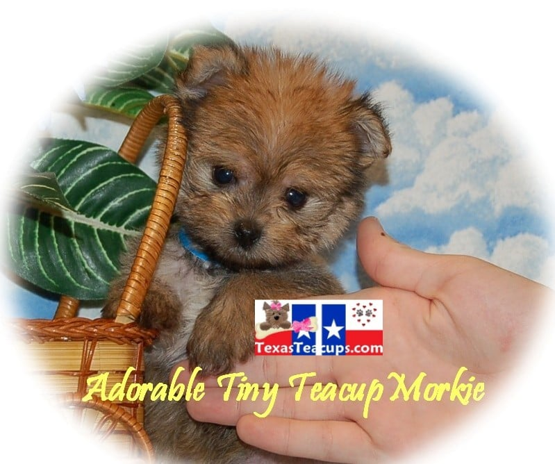 Morkie Puppies For Sale - Yelp