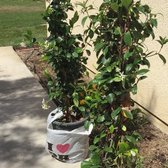 Photo Of Quality Growers Corona Ca United States 5 Gallon Jasmine Vine