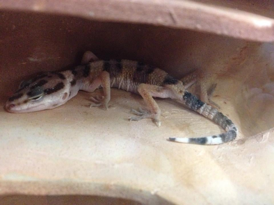 sick leopard gecko for sale at the petco in redlands in dec 2013
