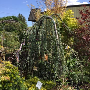 Photo Of American Nursery Fair Lawn Nj United States Awesome Weeping Cedar