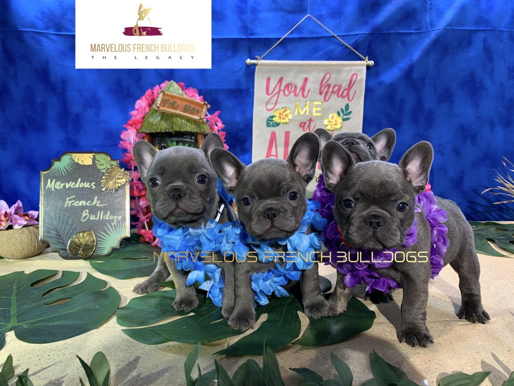 Marvelous French Bulldogs: San Diego, CA