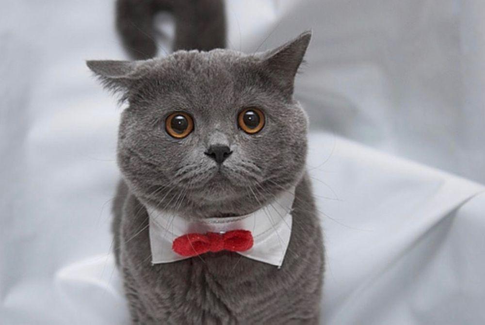 Приколы картинка кот британец
