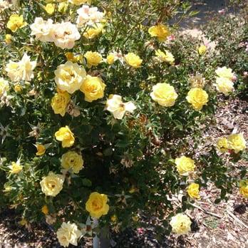 San Jose Heritage Rose Garden 110 Photos 36 Reviews Park Forests Spring St Downtown