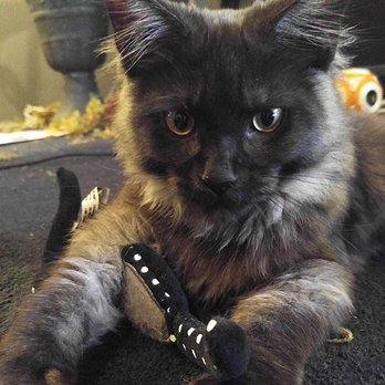 Coon-Kingdom Maine Coons - 19 Photos - Pet Breeders