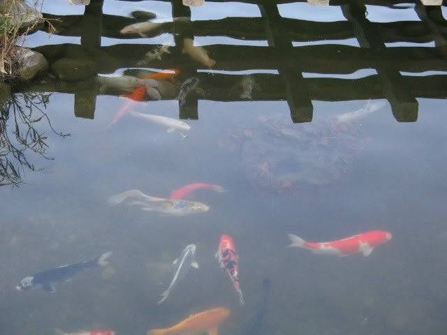 Koi and other fish in the pond yelp for Koi fish farm near me