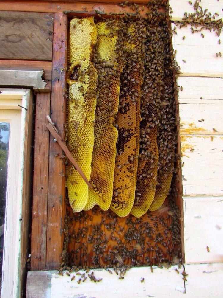 Encinitas Bee Removal