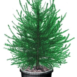 photo of the original potted christmas tree company eugene or united states - Potted Christmas Tree