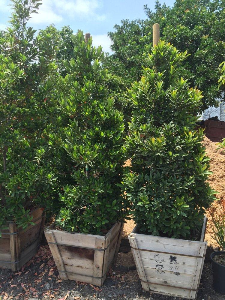 5 Gal Acacia Redolens Lowboy Yelp