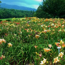Photo Of Davis Boxwood Daylily Nursery Lowgap Nc United States