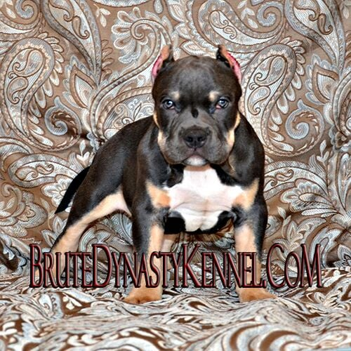 Brute Bloodline Pocket Tri Color Bully PitBull Puppy - Yelp