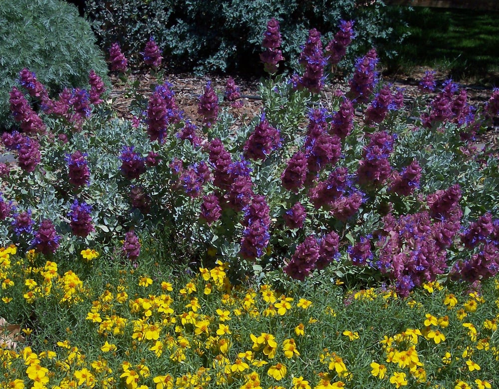 Great Plant Combination Mojave Sage Underplanted With